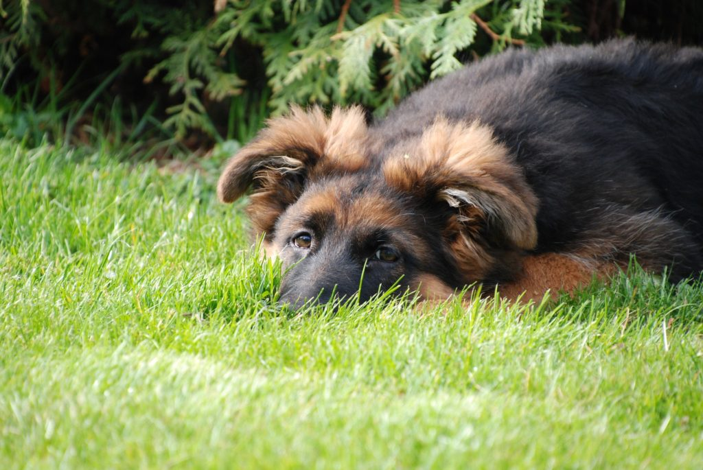 GSD pup lying in grass