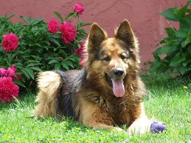 long haired german shepherd care tip