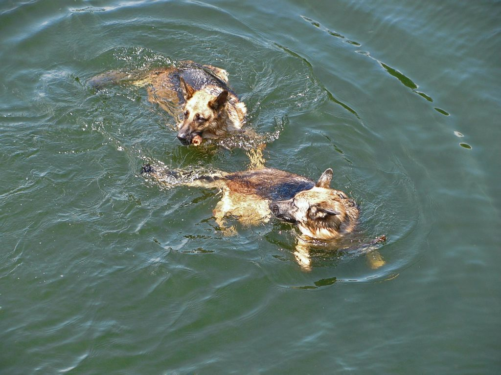 german shepherds swimming