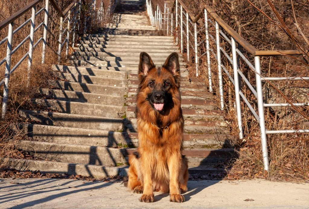 long hair german shepherd sitting at bottom of stairs