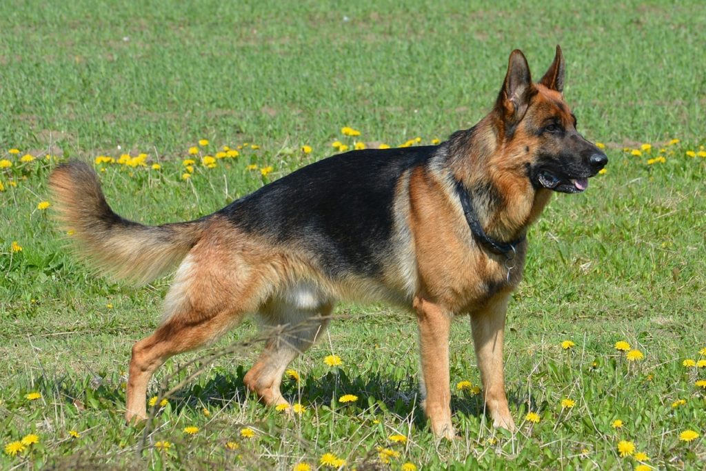 show line german shepherd standing in a grassy field