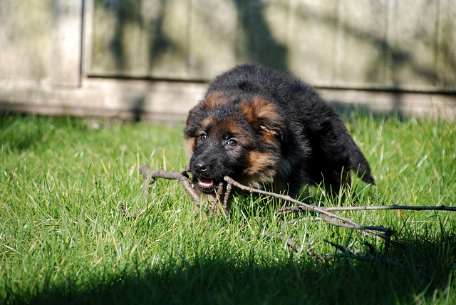 six week old german shepherd puppy training