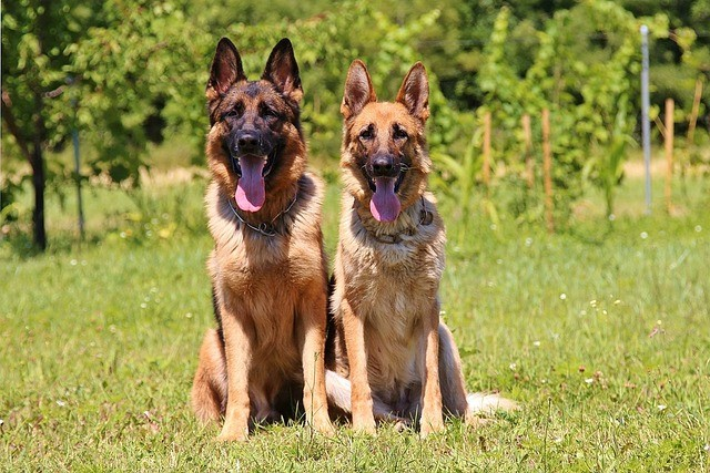male and female german shepherds sitting in grass