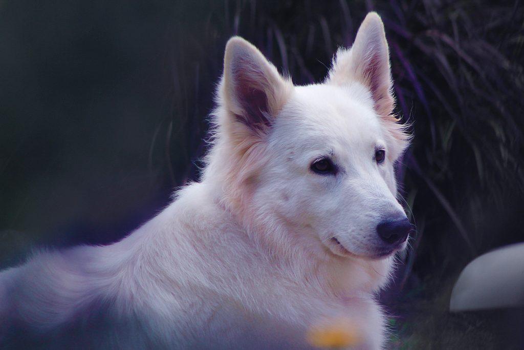 white german shepherd looking over its shoulder