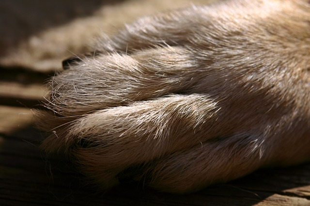 german shepherd paw with short nails