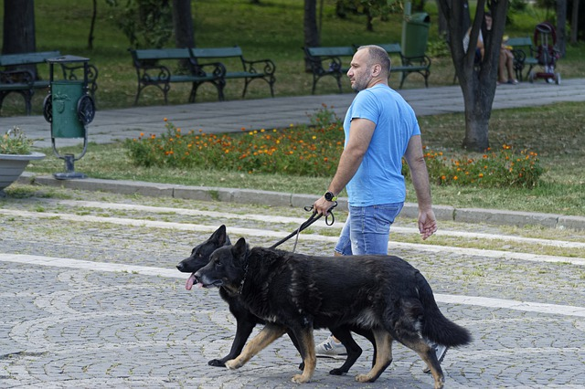 man in blue shirt walking two german shepherds