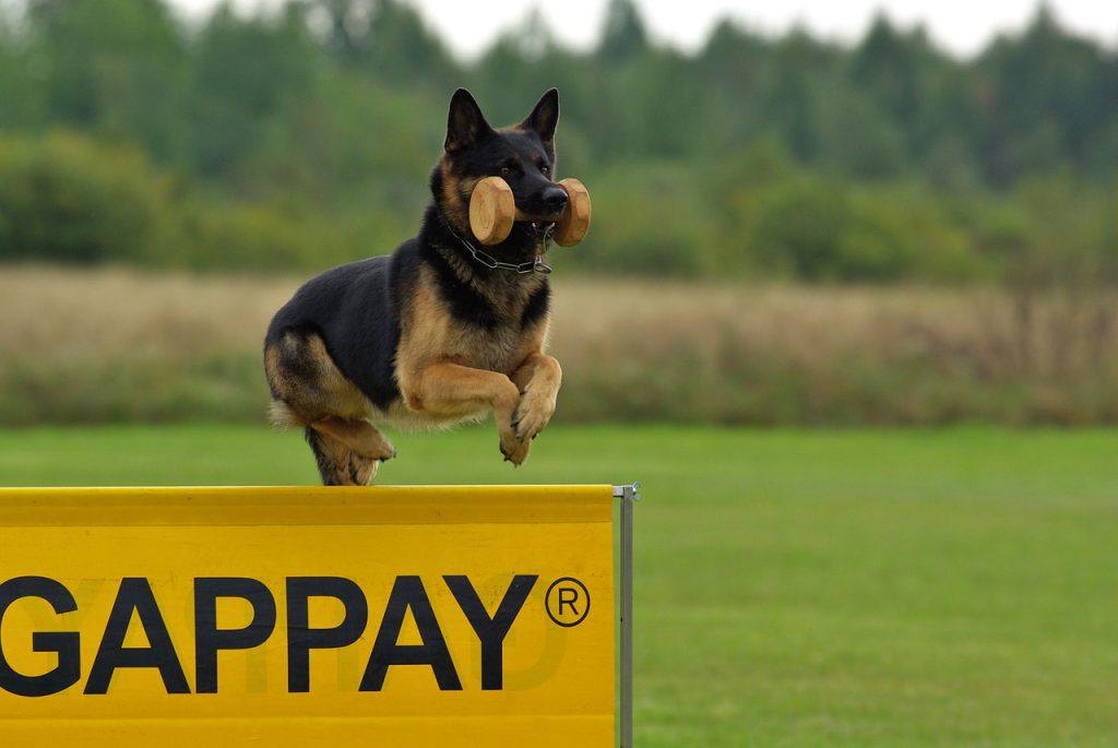 working quality german shepherd