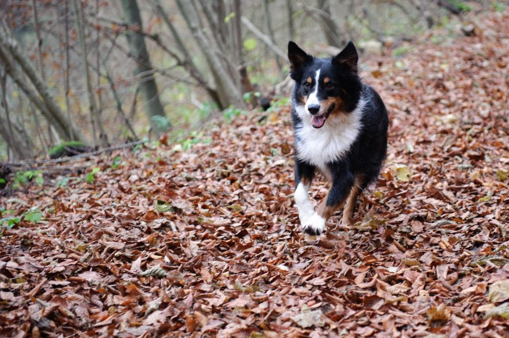 black and white australian shepherd dog running through a leaf covered forest path