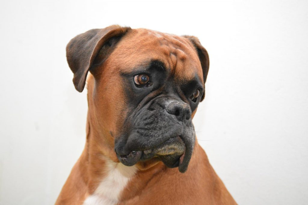 brown boxer dog looking over its shoulder to the right