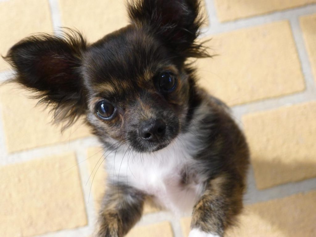brown and white Chihuahua with long hair looking up