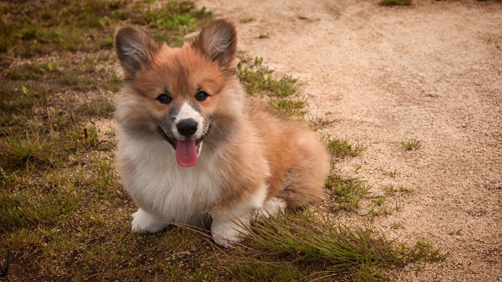 brown and white corgi puppy sitting in sand and grass