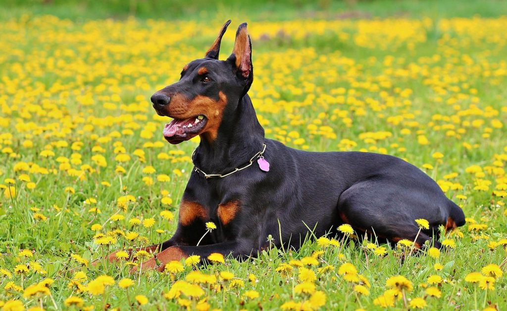 black and tan doberman dog lying in a field of yellow flowers