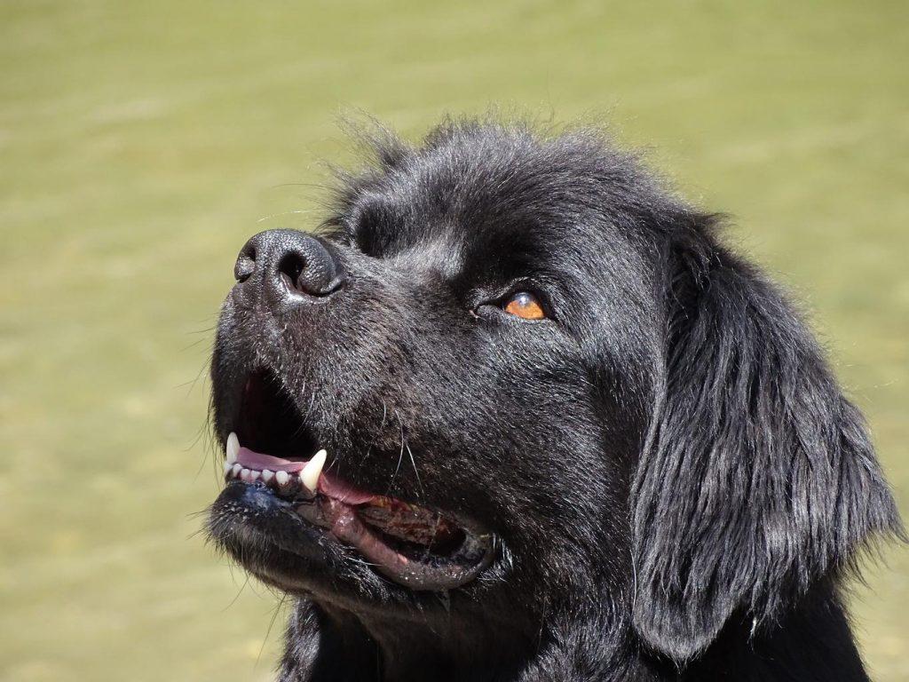 black newfoundland dog looking toward the left