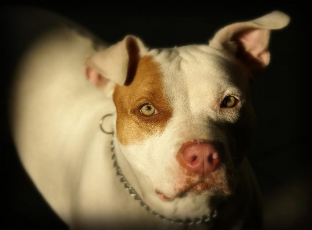 white pitbull with a brown patch over its eye looking up