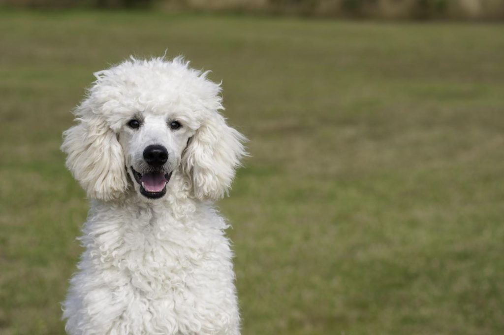 white poodle sitting in a grassy field