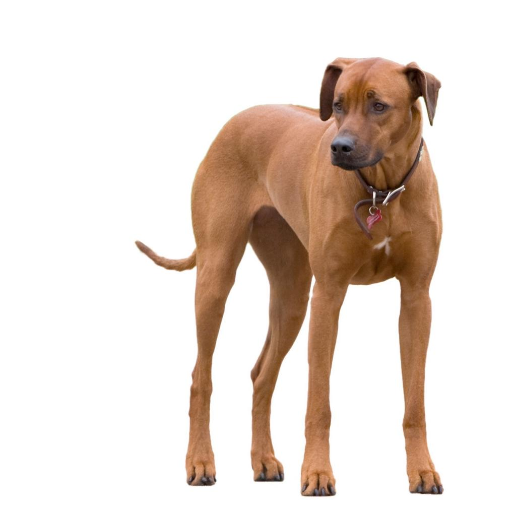 Rhodesian Ridgeback dog standing and looking to the left