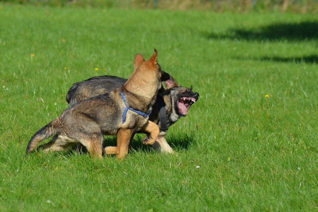 two german shepherd puppies rough playing and showing their teeth