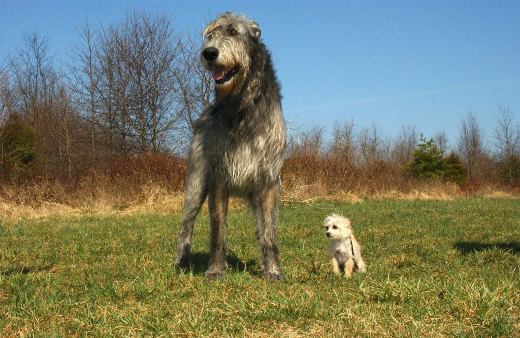 tall grey wolfhound dog standing in a grassy field next to a tiny white dog