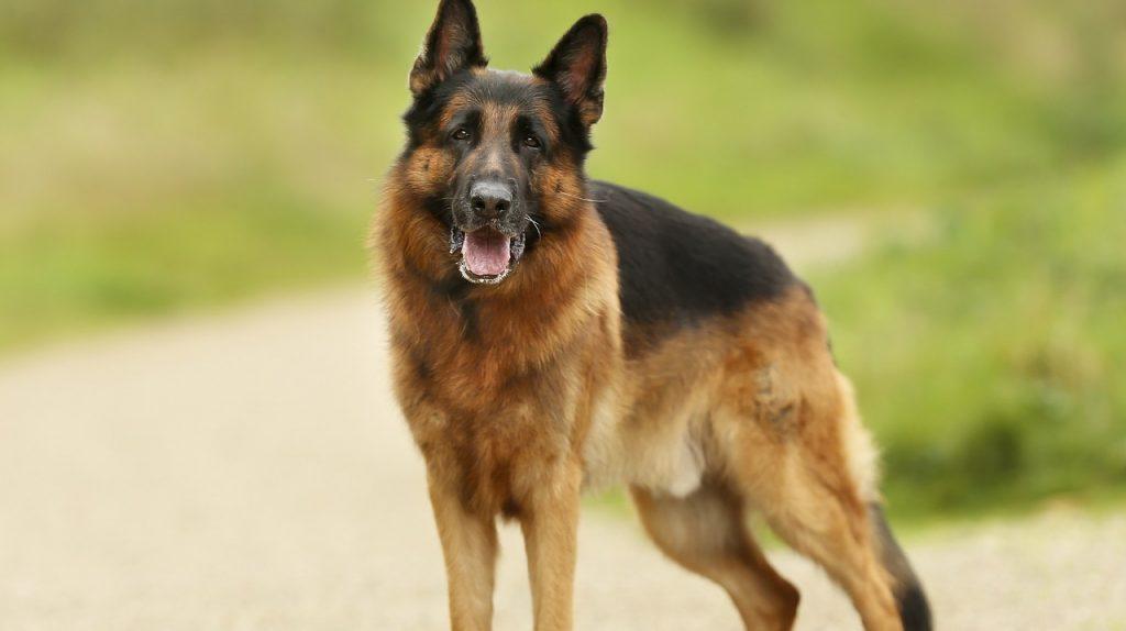 german shepherd dog in stay position
