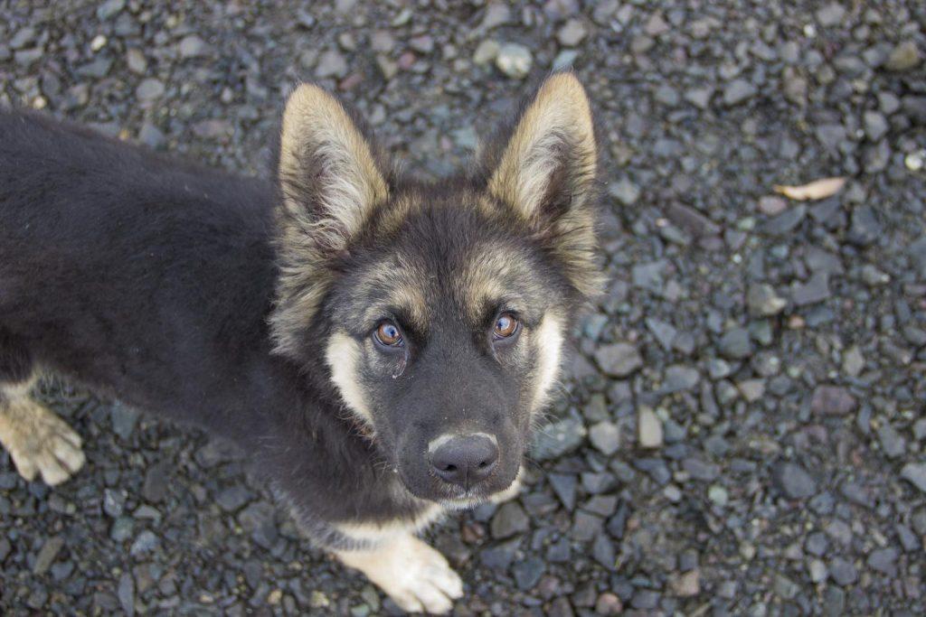 6 month old german shepherd puppies need mental stimulation