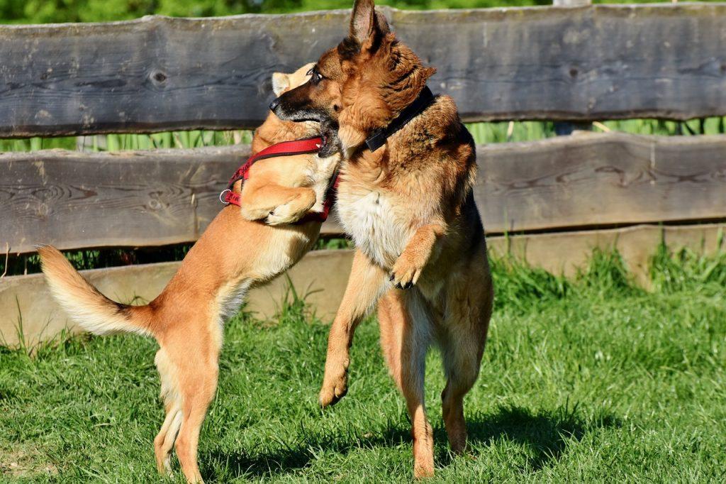 german shepherd puppy playing rough and pushy