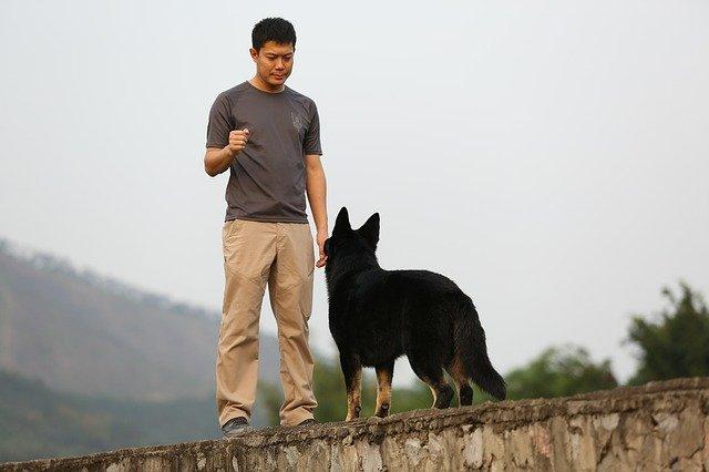 german shepherd performing a stay in front of their handler