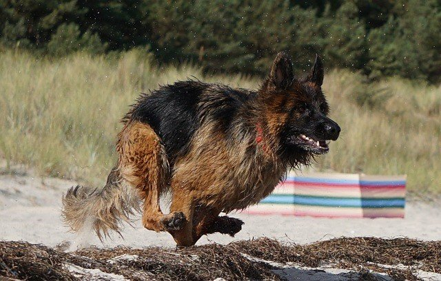 long hair german shepherd running