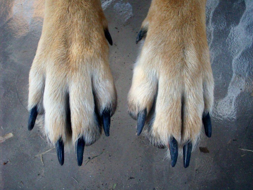 german shepherd paw and toes
