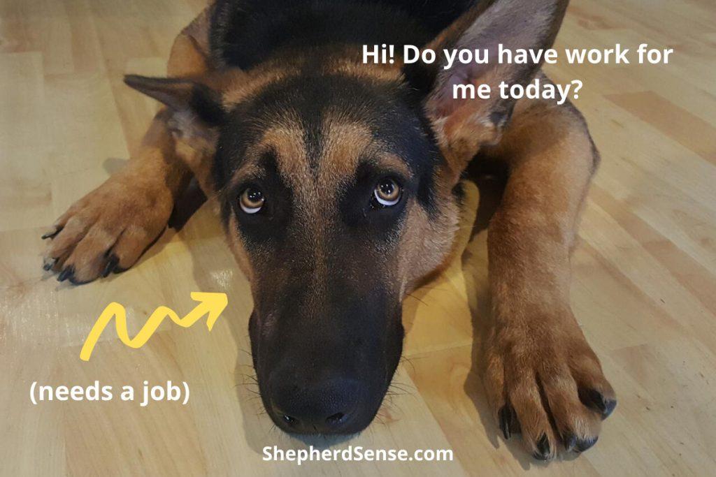 good household jobs for german shepherds to prevent boredom