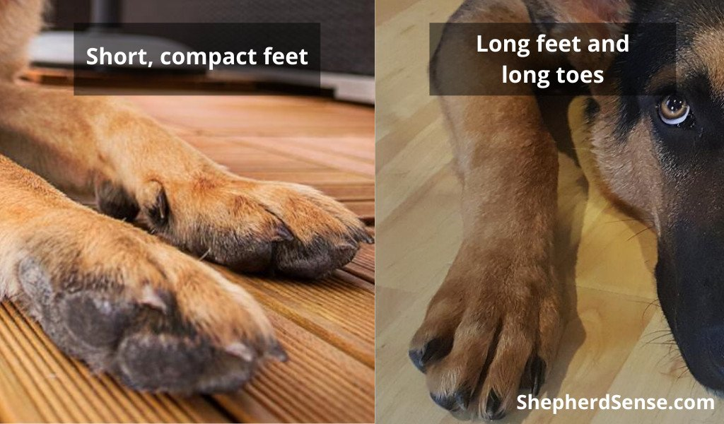 short, compact feet versus long feet and toes