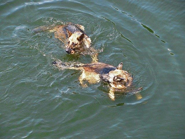 webbed feet and swimming german shepherds