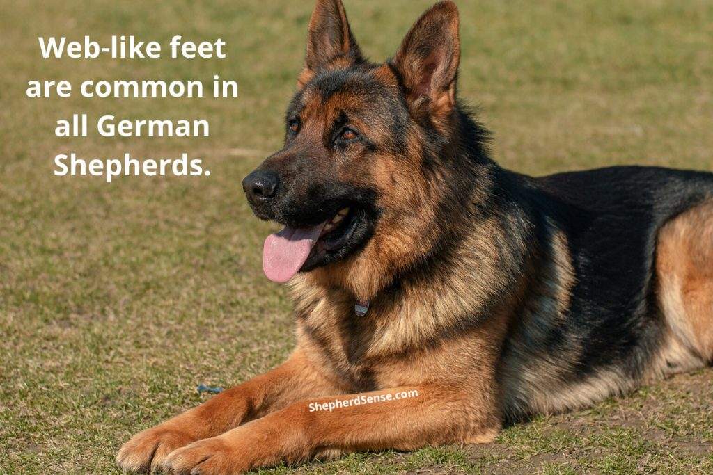 why do some german shepherds have webbed feet