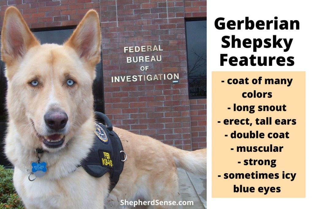 gerberian shepsky features