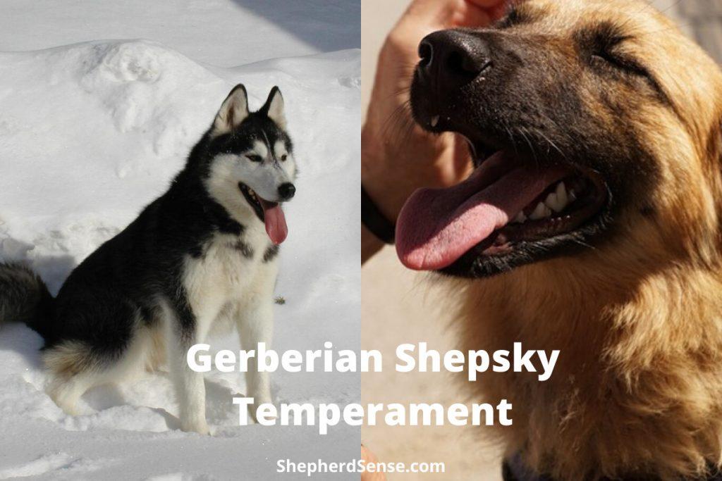 gerberian shepsky temperament