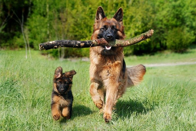 german shepherd puppy or adult training times