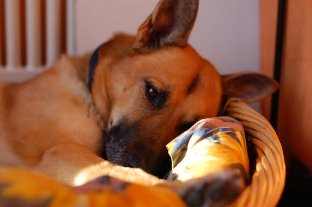 german shepherd sleeping in a wicker dog bed