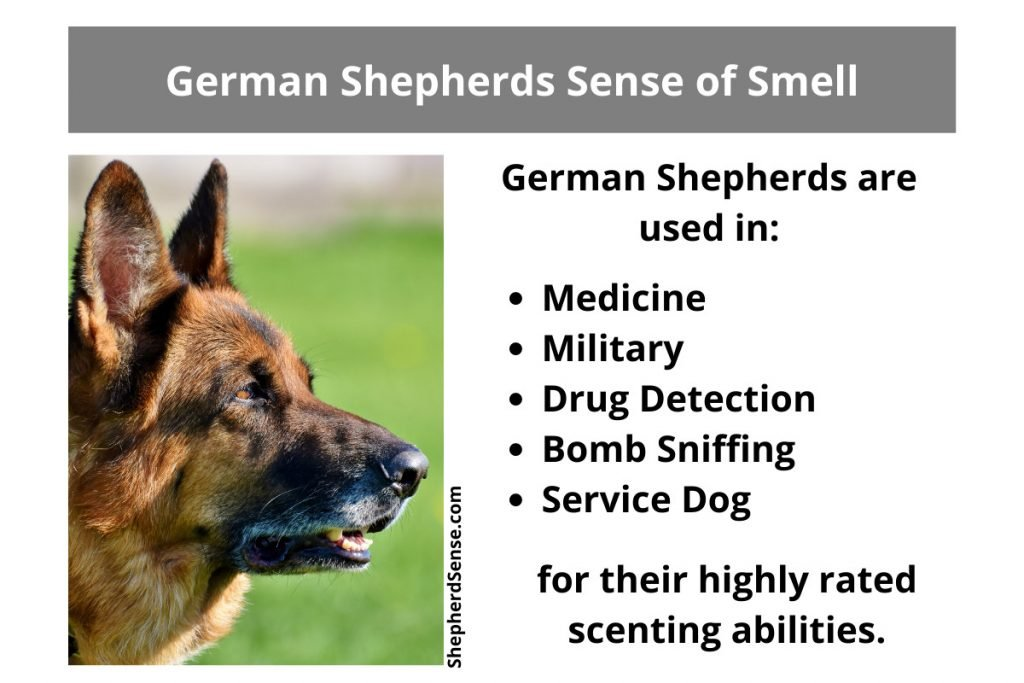 german shepherds and their sense of smell