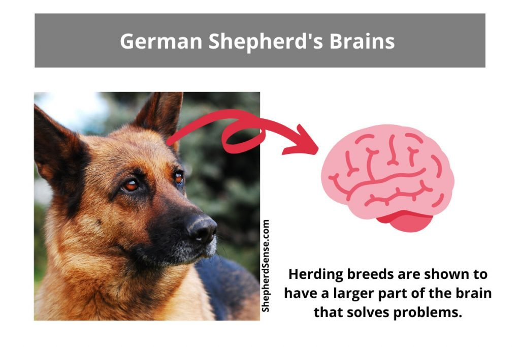 german shepherds are great problem solvers