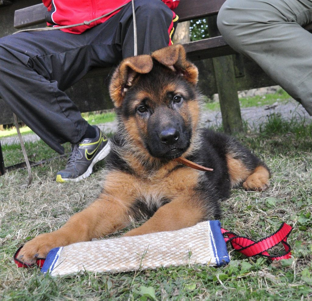 how long does it take to obedience train a german shepherd puppy