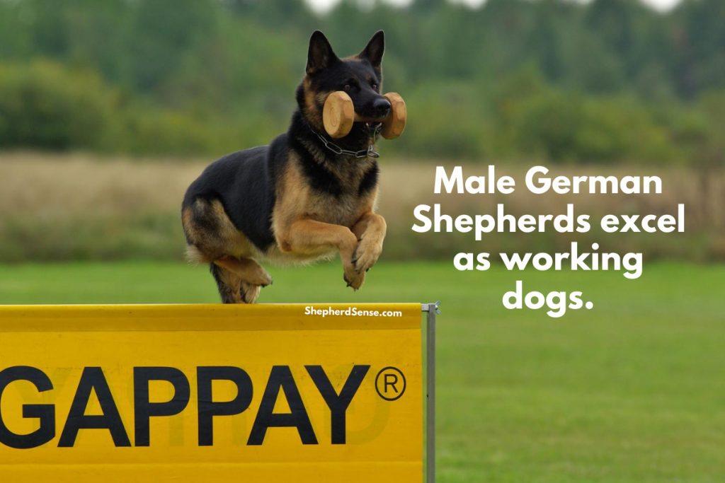 male german shepherd working dog jumping over hurdle