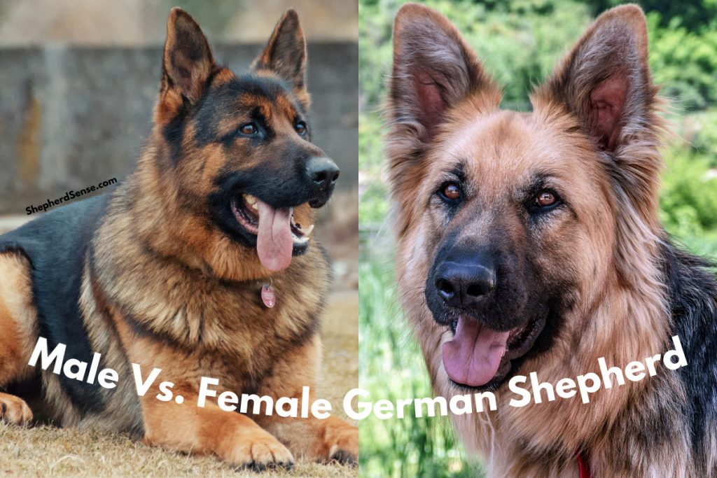 male and female german shepherd for comparison
