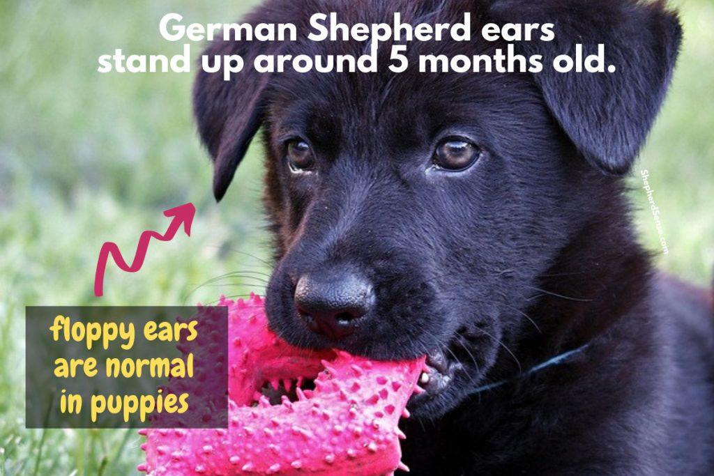 german shepherd puppy with floppy ears