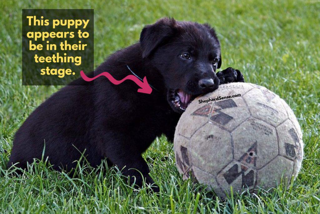 floppy eared german shepherd puppy chewing a ball