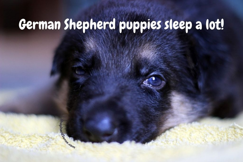 german shepherd puppies a lot