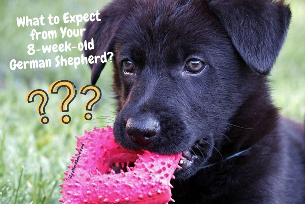 what to expect from your 8 week old german shepherd puppy