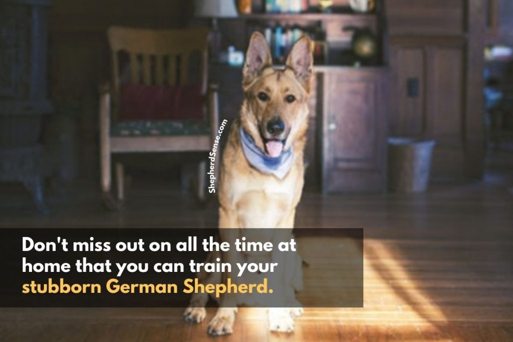 integrate training into your everyday life for your stubborn german shepherd