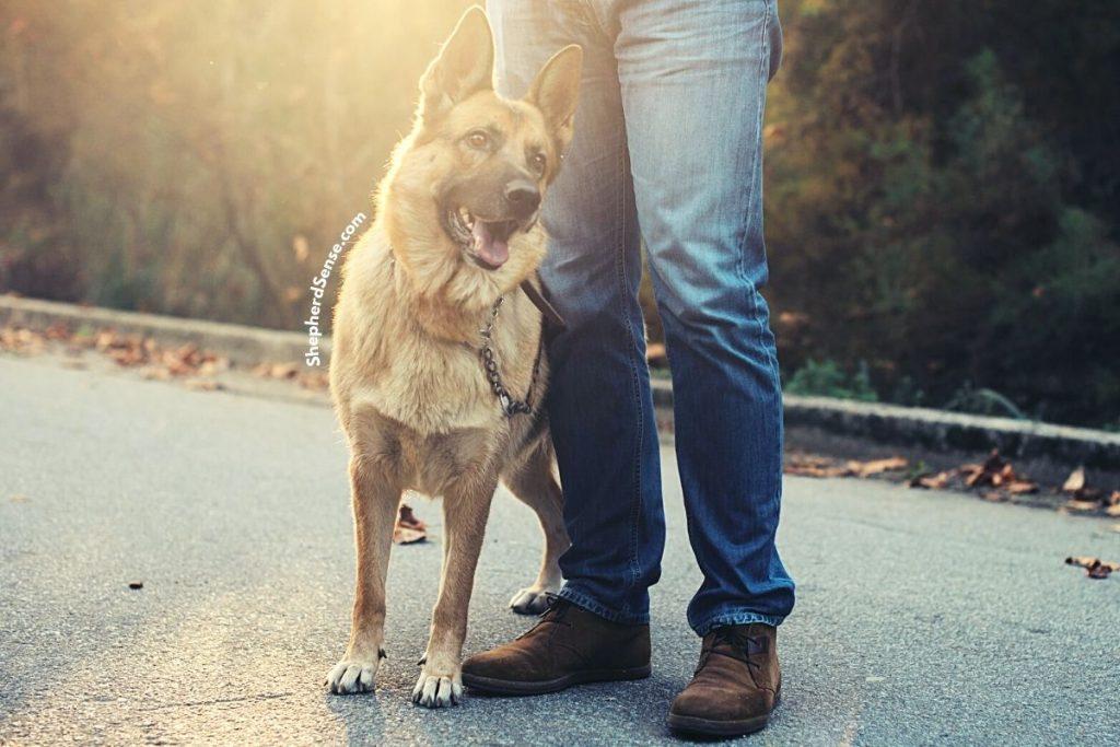 train your stubborn german shepherd during their daily walk