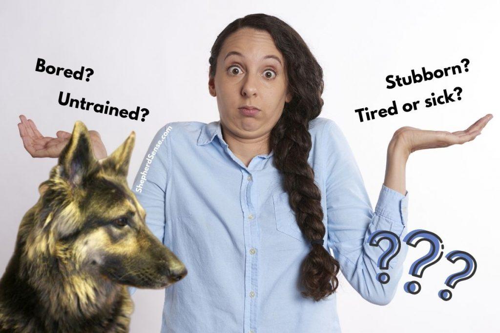 why is my german shepherd so stubborn?