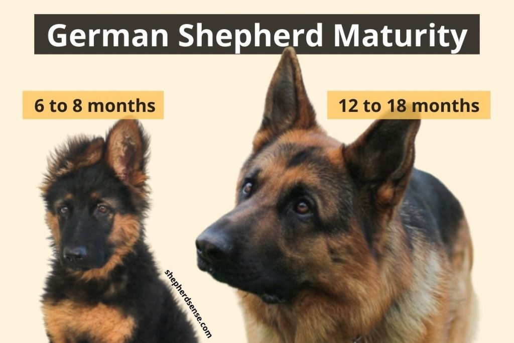 german shepherd maturity and behavior changes