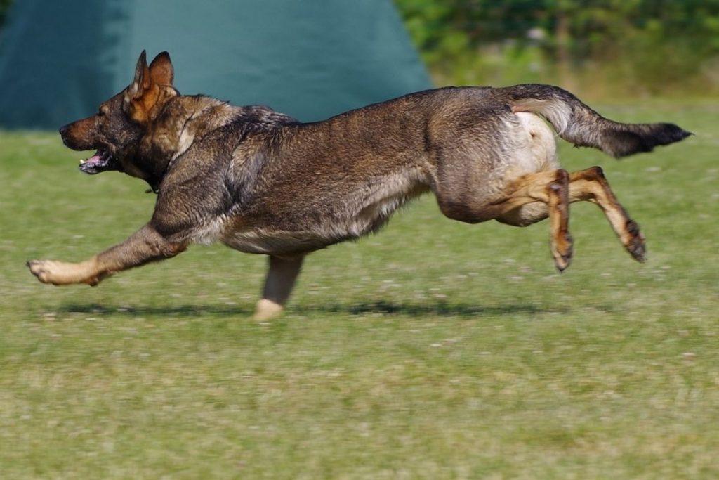 german shepherd running during recall